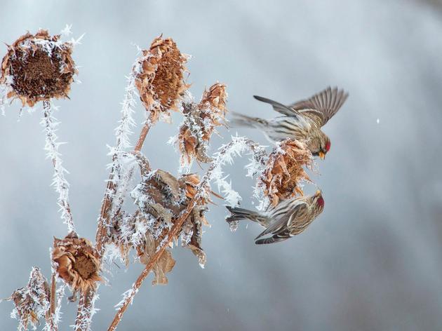 Common Redpolls. Robert Harwood/Audubon Photography Awards