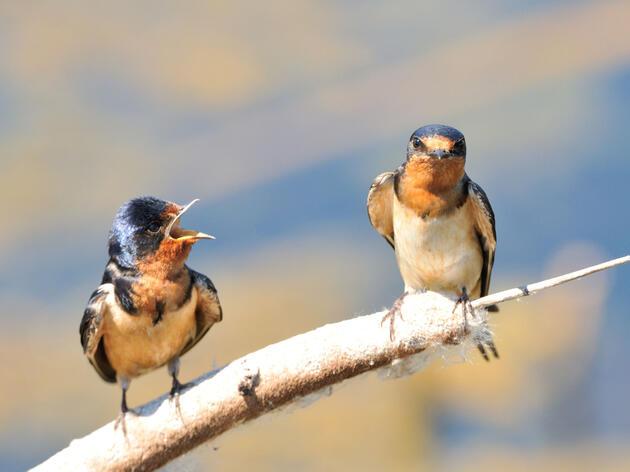 Barn Swallow. Dennis Derby/Audubon Photography Awards