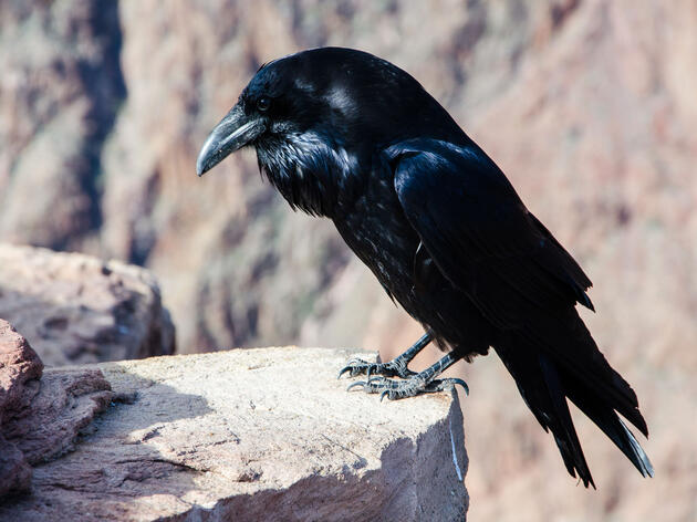Common Raven. Lukasz Lempart/Audubon Photography Awards