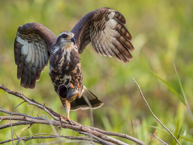 Snail Kite. Scott Dere/Audubon Photography Awards