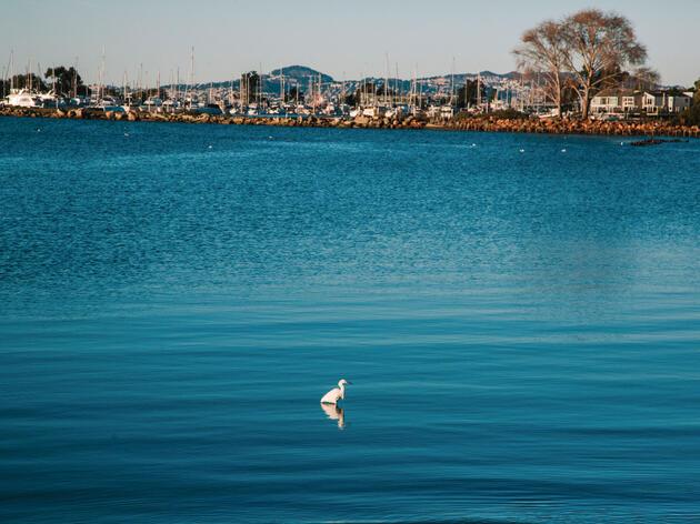 A Snowy Egret at Crab Cove, on the coast of Alameda. Elizabeth D. Herman