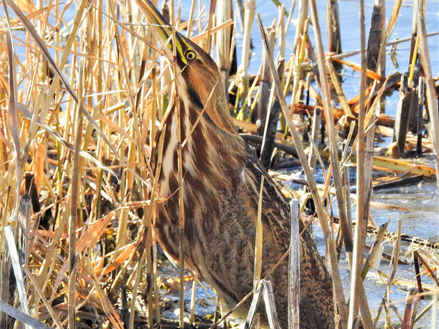 American Bittern spotted during the 2018 Christmas Bird Count at Bear River Migratory Bird Refuge in Utah. Max Malmquist/Audubon