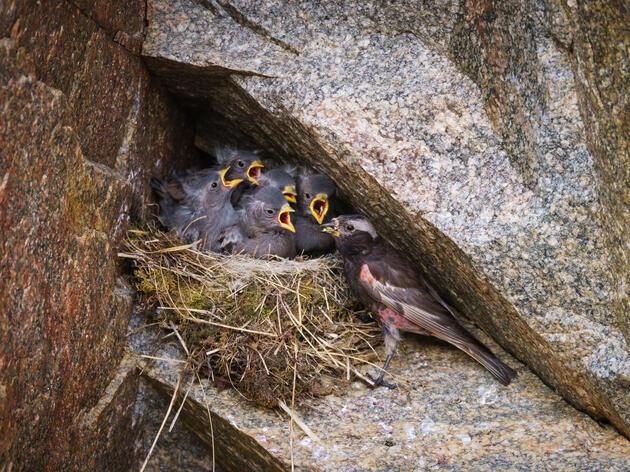 A medida que las Montañas Rocosas se derriten, esta ave de nidificación poco común no tendrá a dónde ir