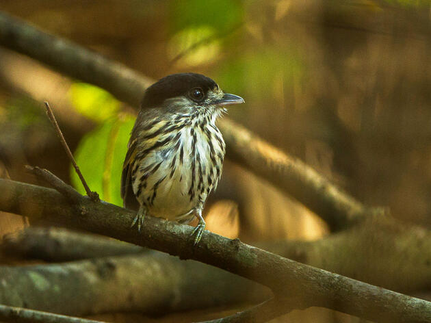 Watch: This Little Bird Can Sing With Its Wings