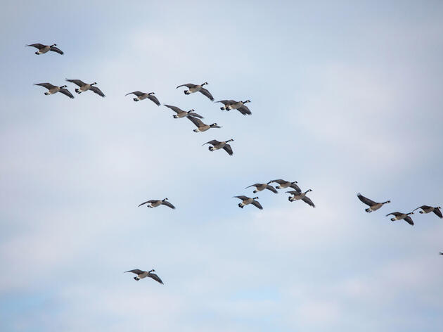 Canada Geese are important to Indigenous communities in the United States and Canada. Brendan Forward