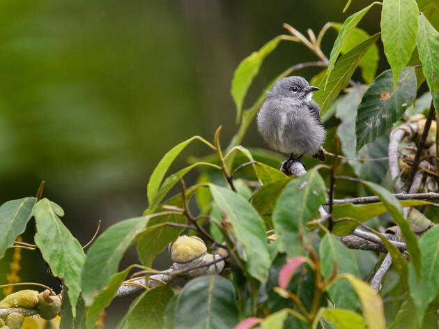 High Up in the Borneo Canopy, a Likely New Bird Species Lurks