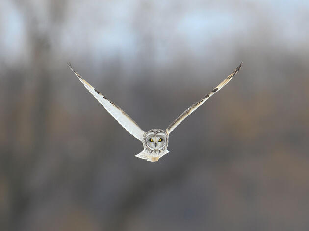 Short-eared Owl. Diana Whiting