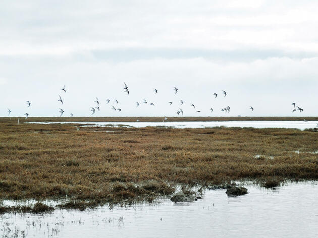 A group of Western and Least Sandpipers arrives to forage in their new habitat. Rachel Spadafore/Audubon