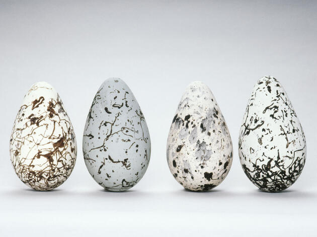 Common Murre bird eggs can come in a variety of colors and patterns, but they all have the same pointy shape that has intrigued experts since the 1800s. Frans Lanting/Mint Images/Alamy