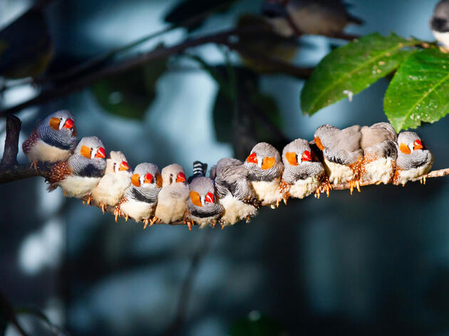 UV vision is a key ingredient to Zebra Finch attraction—and by the looks of this photo, it's pretty effective. Sagar Simkhada/Alamy