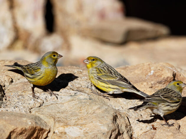 A female Atlantic Canary, far right, assesses her mating options, hoping neither male is her brother. Johnny Madsen/Alamy