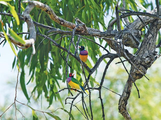 Gouldian Finches. Alexander Watson/WWF-Australia