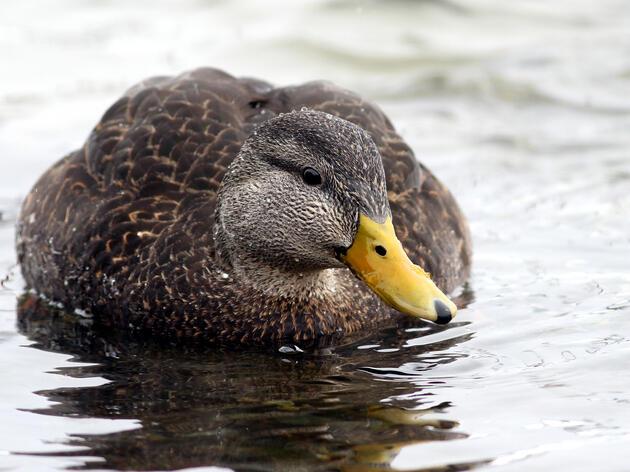 American Black Duck. Fyn Kynd/Flickr (CC BY 2.0)
