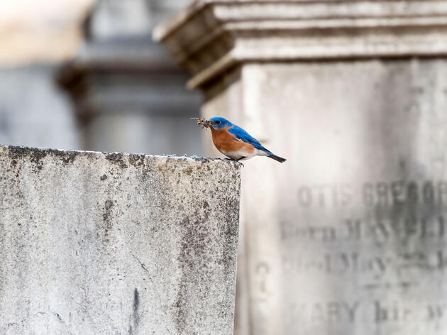 An Eastern Bluebird snacks in Sleepy Hollow Cemetery in Concord, Massachusetts. Over the past few centuries, beautification of burial grounds has led to new bird-rich habitat across the United States. Maia Kennedy/Alamy