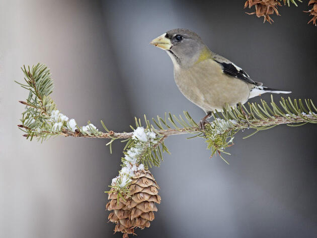 How to Predict Which Canadian Birds Will Crash Your Feeders This Winter