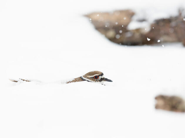 When Groo went to check on the Killdeer nest after a late spring snowstorm, she discovered one parent dutifully keeping the eggs warm. Melissa Groo