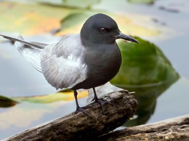 Black Tern.