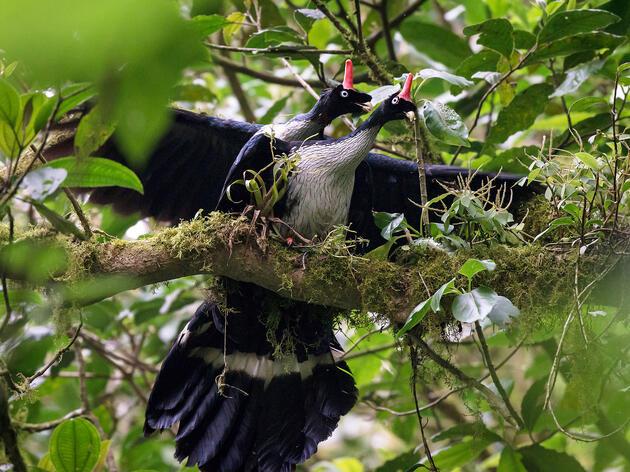 Afortunado observador de aves captura las únicas fotos que se conocen de pavones cornudos apareándose en su entorno natural