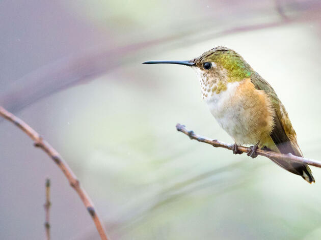 Cómo tomar hermosas fotografías de colibríes