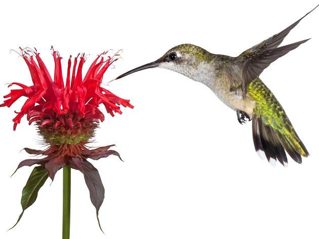 Ruby-throated Hummingbird and Bee Balm. mtruchon/Adobe Stock