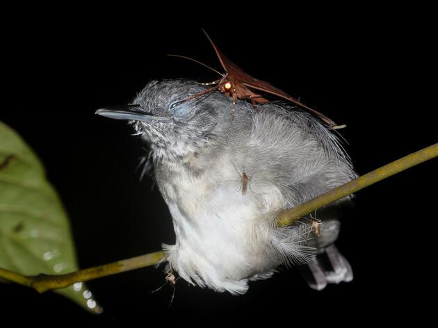 Antbird tears. Leandro Moraes