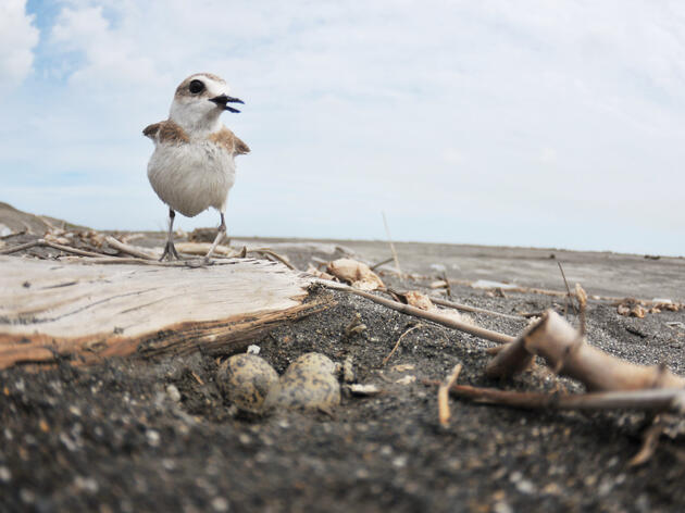 A Kentish Plover, nesting in Taiwan, takes a break from incubating eggs. Weiting Liu