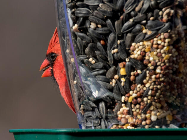 Northern Cardinal. blightylad-infocus/iStock