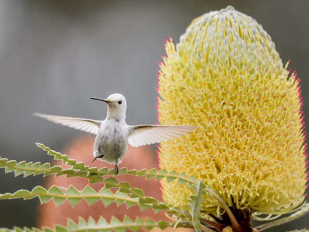This Anna's Hummingbird has leucism, a pigment disorder that gives it its brilliant white color. Brad R. Lewis