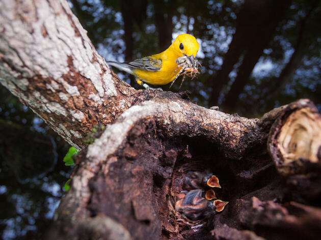 Whether it be the dazzling yellow plumage of a Prothonotary Warbler or the soft, tawny belly of a female Northern Cardinal at your feeder, birds stir something within people that can make us look past our differences. Mac Stone