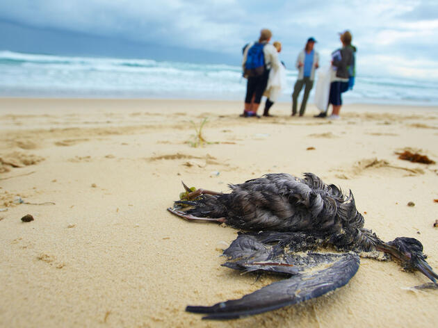Plastic fragments are eaten by a substantial number of seabirds, including this Short-tailed Shearwater. CSIRO