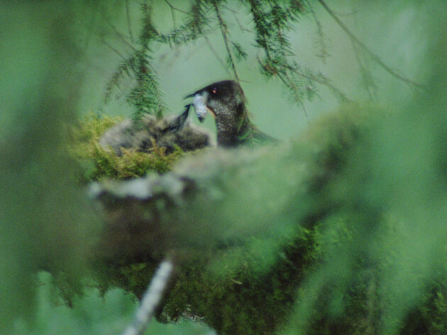 Hidden amidst the branches of the old-growth trees it needs to nest, a Marbled Murrelet parent feeds a chick. Mark Moffett/Minden Pictures