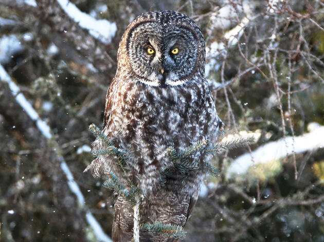 Bryand photographed this Great Gray Owl amid falling snow in the Sax Zim Bog of northern Minnesota, a habitat rich with wildlife such as owls, warblers, bobcats, and wildflowers. Monica Bryand
