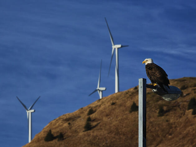 A Bald Eagle perches on a lamppost in Kodiak, Alaska. Design Pics Inc/National Geographic Creative