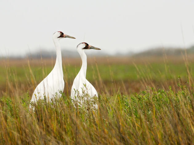 Whooping Cranes now arrive at their wintering grounds at Aransas National Wildlife Refuge, Texas 21 days later than they did 75 years ago. Klaus Nigge/National Geographic Creative