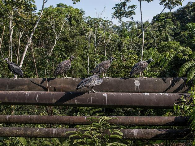 Buitres Negros posados en oleoductos cerca del Parque Nacional Yasuní, Ecuador.