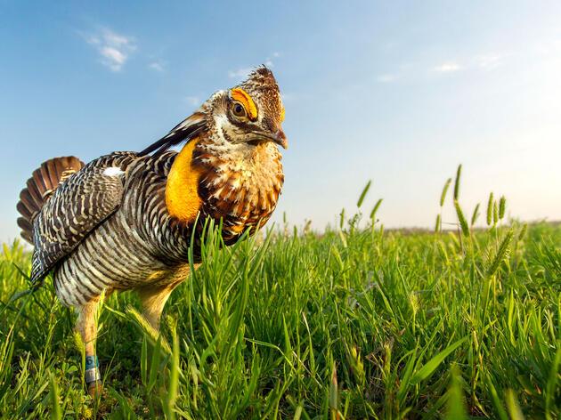 Attwater's Prairie Chicken. Noppadol Paothong
