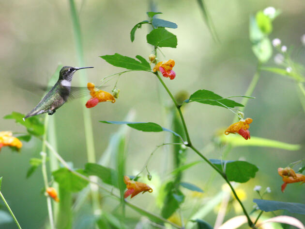 Ruby-throated Hummingbird with a Jewelweed. Will Stuart