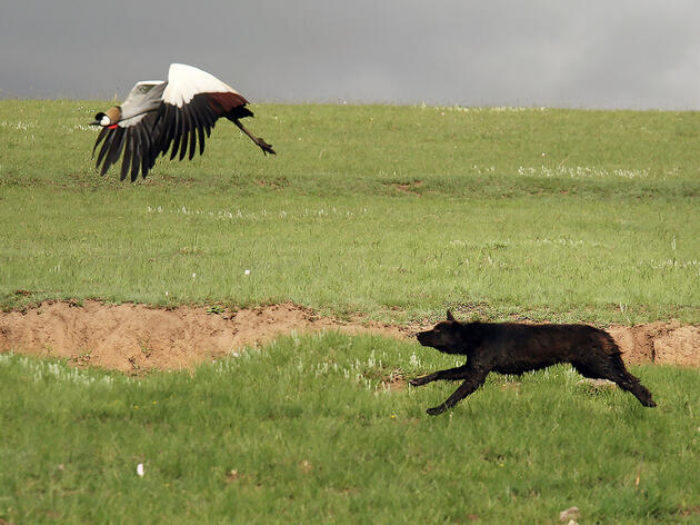 This endangered Grey Crowned-crane had a close call with a hungry dog in South Africa, moments after the bird was distracted by the author stopping his car for a photo. Jonathan Slaght