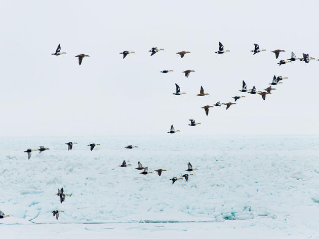 King Eiders in flight over the pack ice on the Chukchi Sea near the Arctic coastal village of Barrow, Alaska. Steven J. Kazlowski