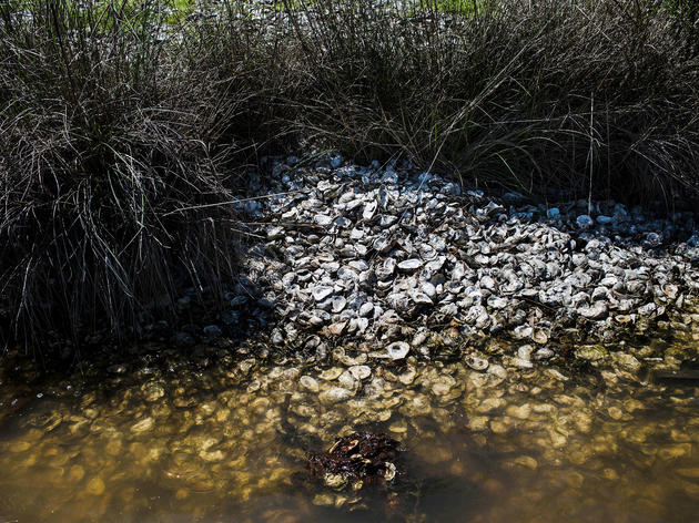 Oyster shells on the shore at Bon Secour Fisheries near Mobile, Alabama four years after the Deepwater Horizon spill. William Widmer/Redux Pictures