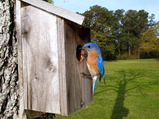Eastern Bluebird. William Leaman/Alamy
