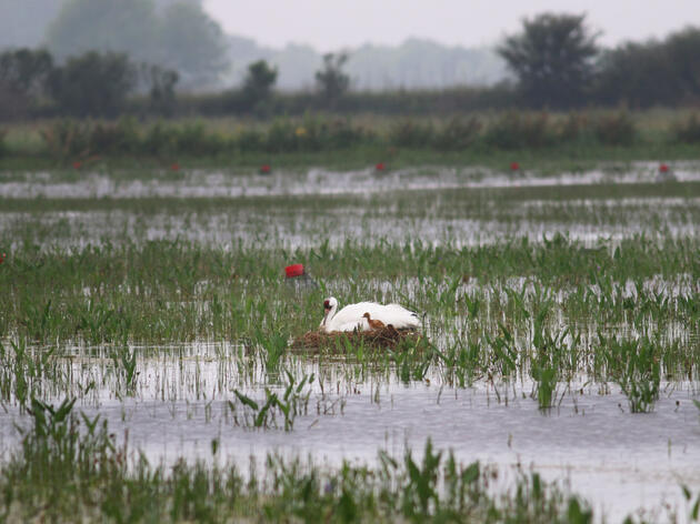 Louisiana's newest Whooping Crane parents with their baby. The couple built their nest on a private crawfish farm, and the owners are ecstatic to host them. Sara Zimorski/Louisiana Department of Wildlife & Fisheries