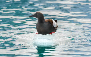 Disappearing Ice Means New Ways of Life for Arctic Birds