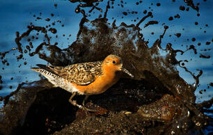 Red Knots Are Battling Climate Change—On Both Ends of the Earth