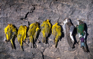 The Southwest Is Facing an 'Unprecedented' Migratory Bird Die-Off