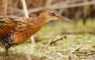 Louisiana Coastal Restoration Project Vital to People and Birds Takes Major Step Forward