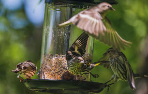 Pine Siskins Have Taken Over the Country