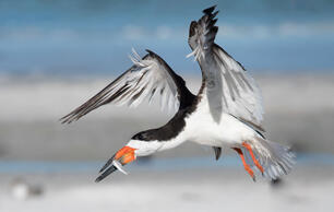 Climate Change Threatens Seabirds on Both Land and Sea