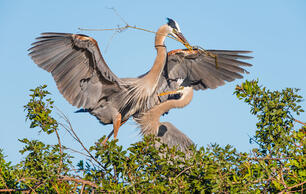 Observing Heron Nesting a Welcome Distraction