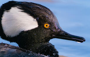 Hear How the Male Hooded Merganser Courts a Female